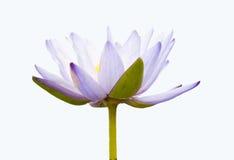 Lotus pourpré. Images libres de droits