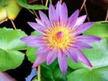 Lotus pourpre à sécrétion externe Maître d'équipage de floraison Image libre de droits