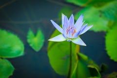 Lotus pourpre Photos stock