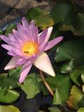 Lotus pourpre images libres de droits