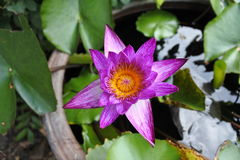 Lotus pourpre Photos libres de droits