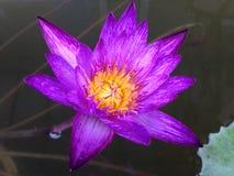 Lotus pourpre image stock