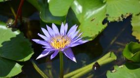 Lotus pourpre Photo stock