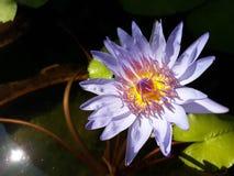 Lotus pourpre Photo libre de droits