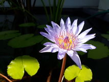 Lotus pourpre Photographie stock libre de droits