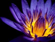 Lotus pourpre Photographie stock