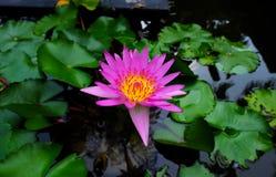 Lotus pourpre avec la feuille verte de lis Image libre de droits