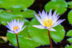Lotus pourpre bleu Photos stock