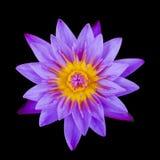 Lotus pourpre d'isolement sur le noir Images libres de droits