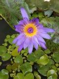 Lotus pourpre dans un étang Images stock