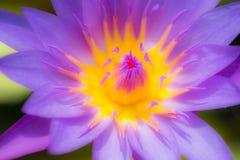 Lotus pourpre de Defocus fleurissant dans l'étang Photographie stock