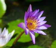 Lotus pourpre de fleur dans le plan rapproché d'étang Photographie stock libre de droits
