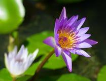Lotus pourpre de fleur dans le plan rapproché d'étang Image stock