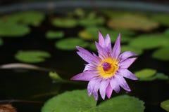 Lotus pourpre fleurissant dans l'étang Photo libre de droits