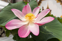 Lotus pourpre, pourpre waterlily Photographie stock