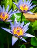 Lotus pourpre triple. Photo stock