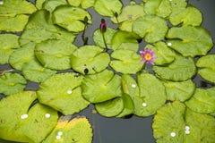 Lotus of Pray Royalty Free Stock Image