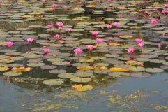 Lotus przy jeziornym Kambodża Fotografia Stock