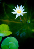 lotus purity Στοκ Εικόνες