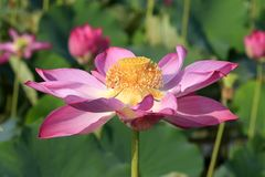 Beautiful Lotus Flowers. Lotus is a purity and the oldest tradition in the East. is a special representative of Buddhist culture. The lotus grows in the mud Stock Images