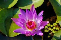 Lotus Purple Stockbild
