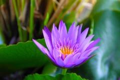 Lotus Purple images libres de droits