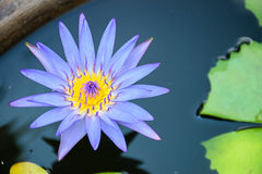Lotus Purple Immagine Stock