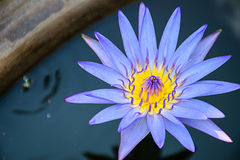 Lotus Purple Fotografie Stock Libere da Diritti
