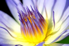Lotus. A Purple Lotus is so beautiful Royalty Free Stock Photography