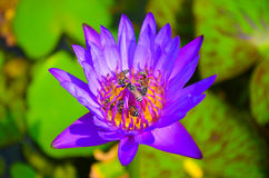 Lotus purple with bee Stock Images