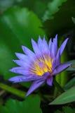 Lotus. Stock Images