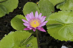 LOTUS IN A POND  Stock Image