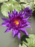 Lotus. Purple lotus flower royalty free stock photography