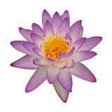 Lotus 80. The purple lotus isolated on white background Stock Photography