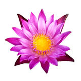 Lotus 32. The purple lotus isolated on white background Royalty Free Stock Photography