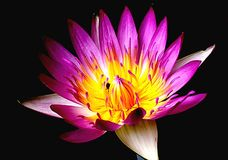 Lotus. Purple  lilies in yellow pollen purple ends Stock Image