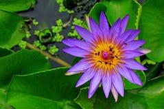 Lotus. Purple lotus with many bee stock image