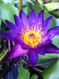 Lotus. Purple Pollen Nature Petal Royalty Free Stock Photo