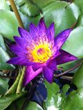 Lotus. Purple Pollen Nature Petal Stock Image