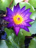 Lotus. Purple Pollen Nature Petal Stock Images