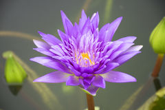 Lotus. Purple lotus in the pond Stock Photography