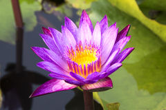 Lotus 11. Purple lotus in the pond Royalty Free Stock Images