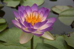 Lotus 70. Purple lotus in the pond Royalty Free Stock Photography