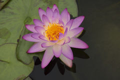 Lotus 77. Purple lotus in the pond Stock Photography
