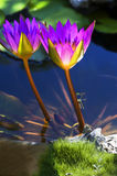 Lotus purple Stock Images