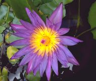 Lotus. Purple lotus in the pool Stock Images