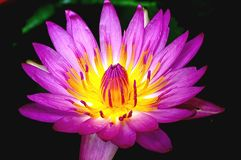 Lotus. Purple lotus pool .yellow stamens .tipped with small purple stamens Stock Photography