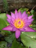 Lotus purple of Thai Royalty Free Stock Photos