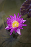 Lotus. Purple Lotus in the Water Stock Images