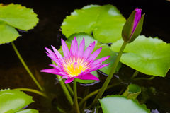 Lotus, purple water lilies Stock Photos